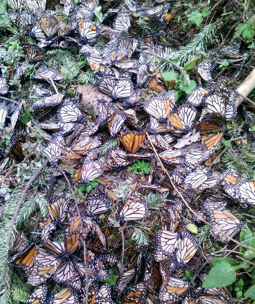 Dead monarchs litter the forest floor of the Sierra Chincua, Michoacan sanctuary after an unusual snow storm in March 2016. You can help by planting milkweeds. Photo: Javier Castaneda, research assistant with David Mota-Sanchez, MSU.