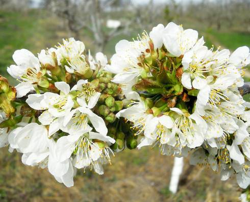 Sweet cherry bloom in Berrien County. Some of the pistils in these flowers were killed earlier in the month, others are fine. All the unopened flowers look good. Photo by Mark Longstroth, MSU Extension.