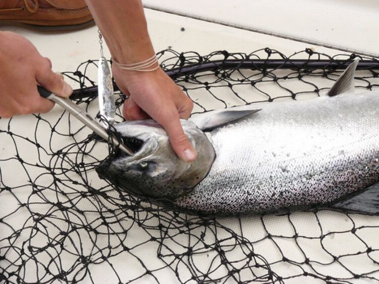 Unhooking a Chinook salmon on the deck of a Lake Michigan charter boat. Lake Michigan charter trips and salmon remain a big draw and consistent part of coastal tourism. Photo: Michigan Sea Grant