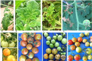 Tomato brown rugose fruit virus (ToBRFV): A new concern for tomato and pepper producers
