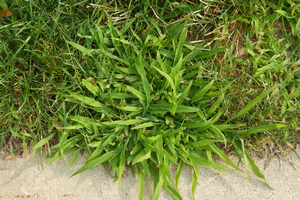 A healthy patch of crabgrass enjoying summer. Photo by Kevin Frank | Michigan State University Extension.