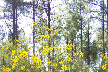 Paleleaf woodland sunflower