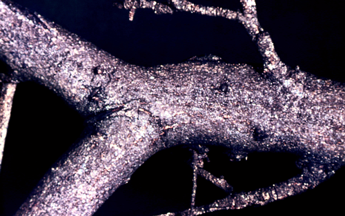 Masses of gray, thin, flaky scales occur on the bark, sometimes covering it completely.