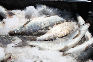 Declining growth, condition of Lake Michigan lake whitefish creates concern for fishery