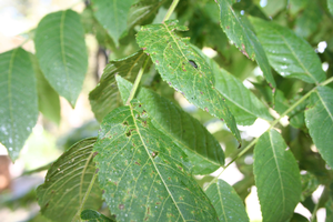 Black Walnut (Juglans nigra) Leaves with signs of Thousand cankers disease (Geosmithia morbida) and possibly a walnut twig beetle (Pityophthorus juglandis). Photo courtesy of Flickr user Jeffrey Beall