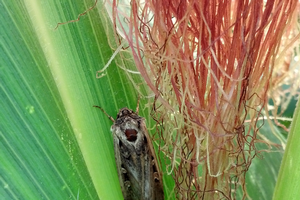 Western bean cutworm nears peak flight in northeast Michigan