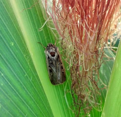 an adult western bean cutworm moth on corn