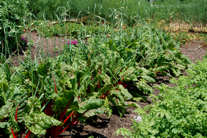 """Cool"" vegetables for you to grow this spring"