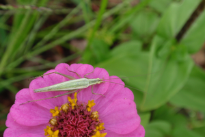 Michigan insects in the garden – Week 9: Tree crickets