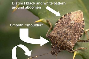The brown marmorated stink bug is a shield-shaped, plant-feeding bug native to Asia. It has distinctive banding on its antennae and around its abdomen. Photo: Jeff Wildonger, USDA-ARS-BIIR.