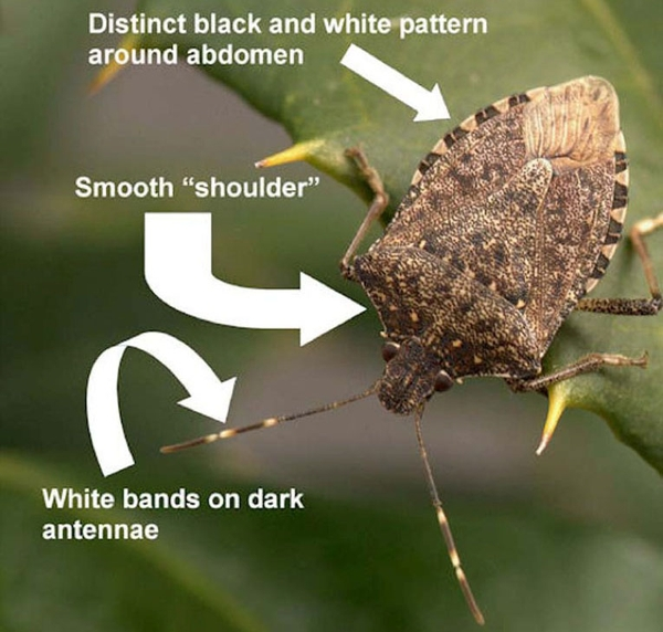 Brown marmorated stink bugs are moving into Michigan homes