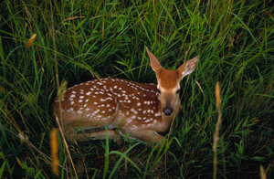 A deer laying in grass