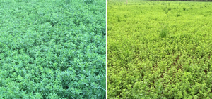 Alfalfa grown on sandy loam with adequate (left) and deficient (right) sulfur supply.