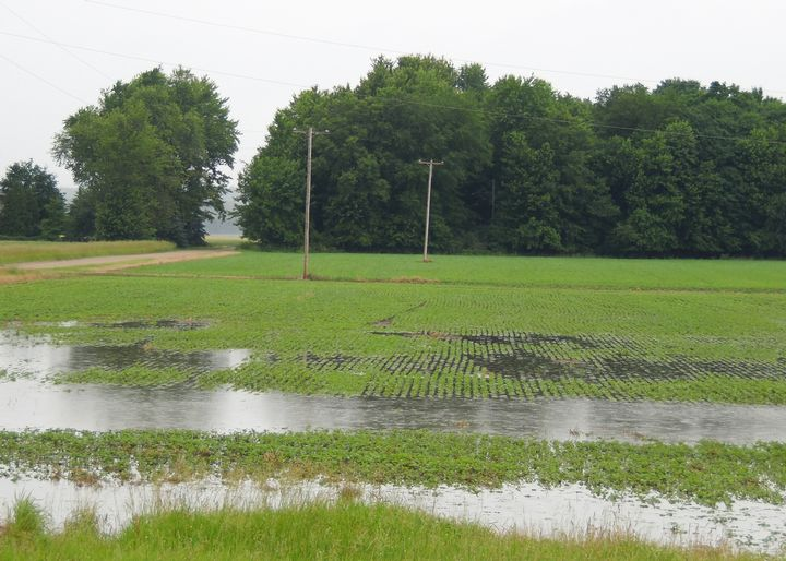 Photo 1. Waterlogged and submerged soybean plants in 2015.