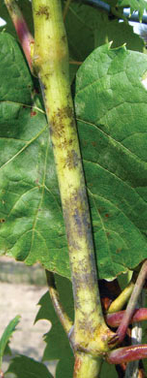Infected shoots show dark gray, feathery patches, which appear reddish brown on dormant canes.