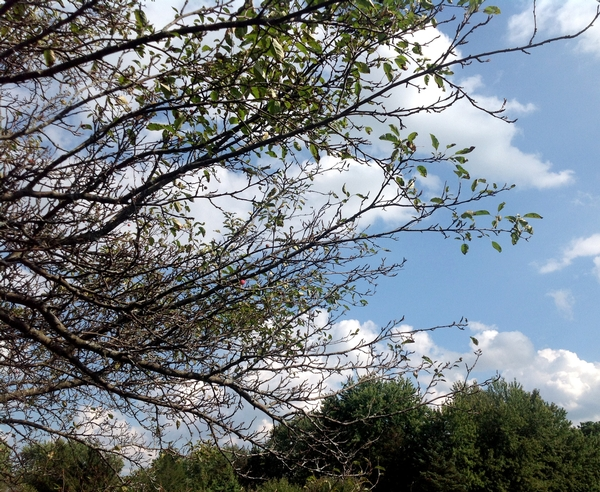 Why is my crabapple tree losing leaves? - MSU Extension