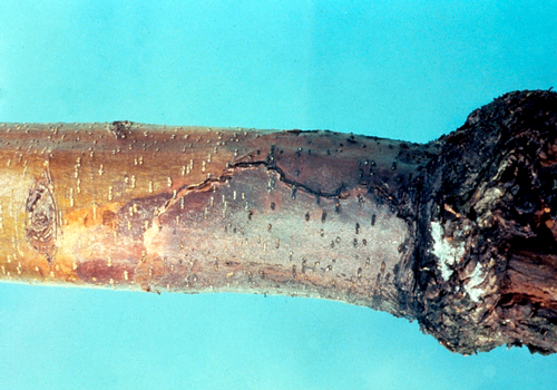 A sharp demarcation forms between the infected rootstock tissue and the scion tissue.