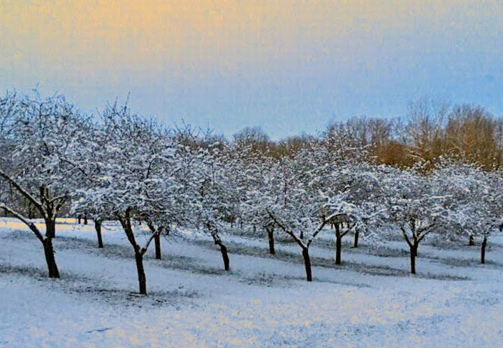 Cherry orchard in snow