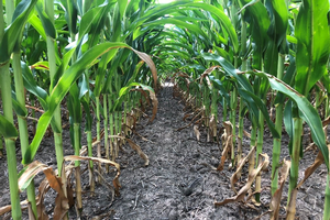 Corn leaf firing at R3 indicating plant nitrogen deficiency.