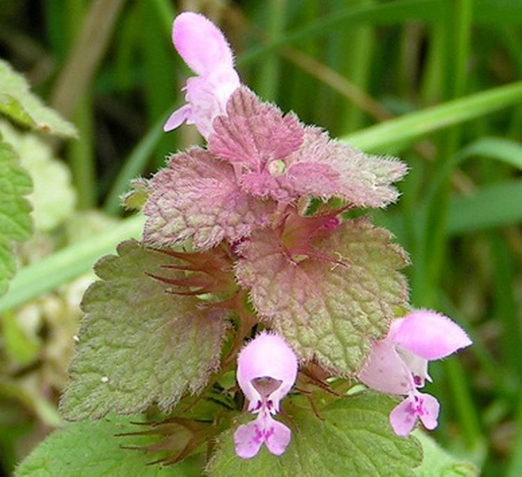 Close up of purple deadnettle flowers. In Great Britain they call this plant red deadnettle instead of purple deadnettle. Photo by Wikimedia Commons.