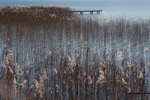Phragmites, how is it an invasive: Part 3