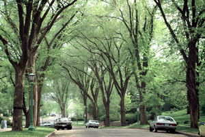 American elms were known for their cathedral-like canopies when lining streets. Photo credit: Joseph O'Brien, USDA Forest Service, Bugwood.org