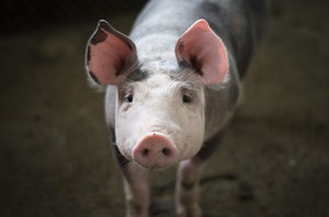 African Swine Fever: What you need to know
