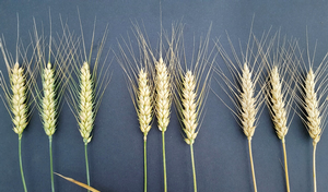 Grain may be subject to pre-harvest sprouting once wheat matures. Indicators of maturity include browning of the stem immediately below the head (stem on right). Photos by Martin Nagelkirk, MSU Extension.