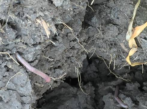 Worms found in Sam Aultman Farm, Coleman Mich.