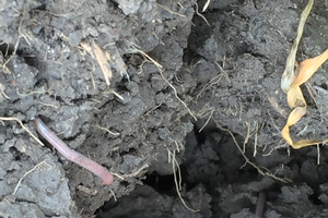 Earthworms can be an indicator of soil health