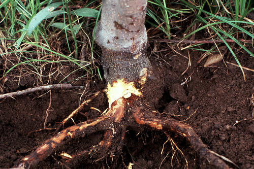 Infected tissue often shows a clearly delineated, reddish-brown discoloration of the inner bark several inches below the soil line.