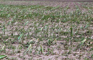 Evaluating hail-damaged crops - Part 1