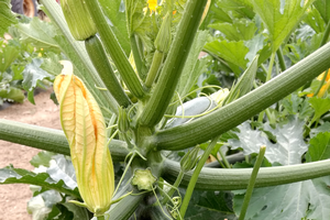 A very vertical zucchini, growing almost like Brussels sprouts. Photos by Ben Phillips, MSU Extension.