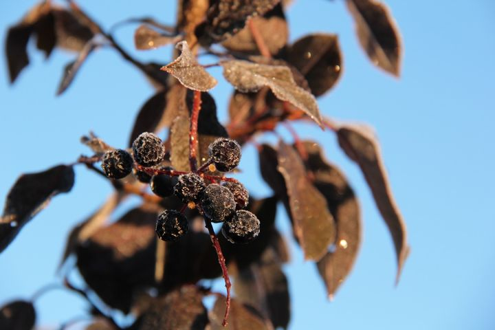 Chokeberries with frost