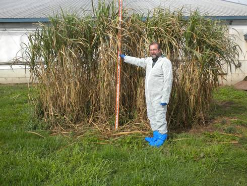 Jerry May stands with giant miscanthus in September 2014 after two seasons of growth on a swine farm. Biosecurity protocols on the farm requires the research team to wear disposable coveralls and footwear when visiting.