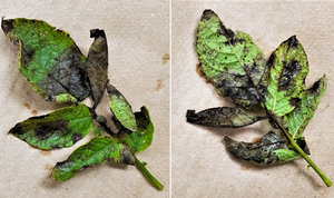 Michigan potato late blight update – Oct. 2, 2019
