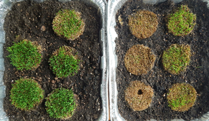 Poa annua samples from 58 days under ice in 2014, eight days of growth. Photo credit: Kevin Frank, MSU