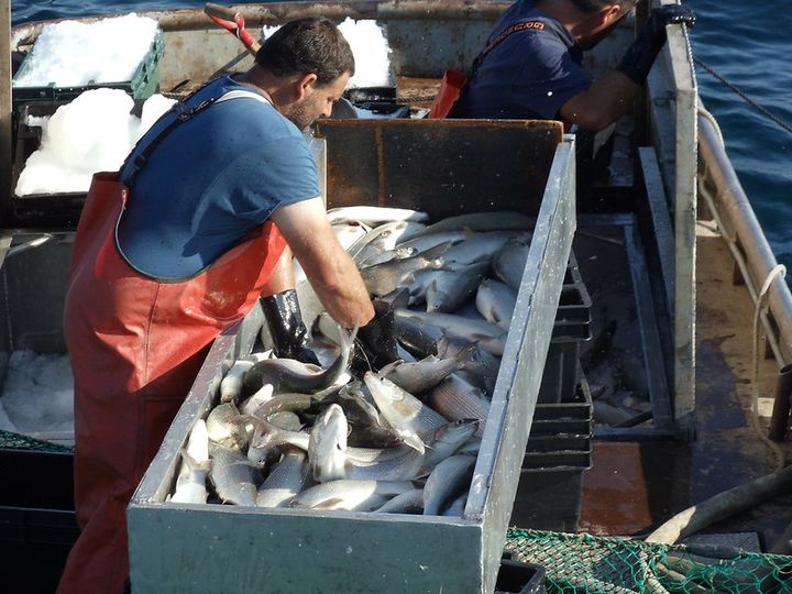 Man reaches into a box holding large fish on ice, while on a commercial fishing boat.