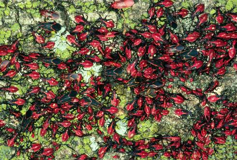 Boxelder bug adults and nymphs. Photo: James B. Hanson, USDA Forest Service, Bugwood.org.