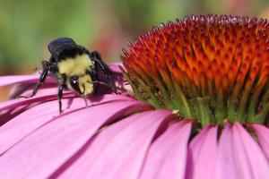 The buzz about native bees: The multiple interacting factors that contribute to recent native bee declines