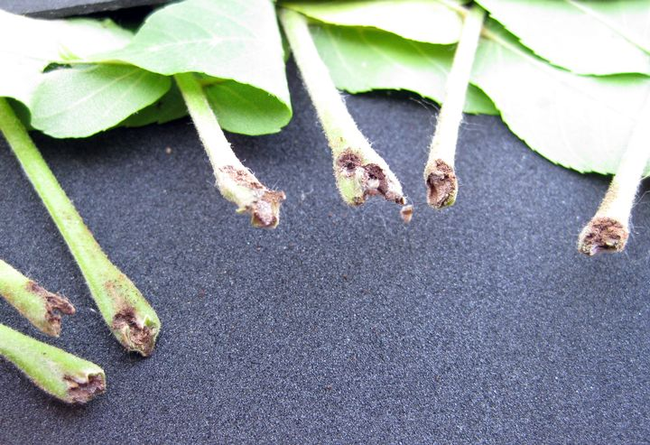 Damage to the end of the petiole caused by butternut curculio. Photo credit: Patrick Voyle