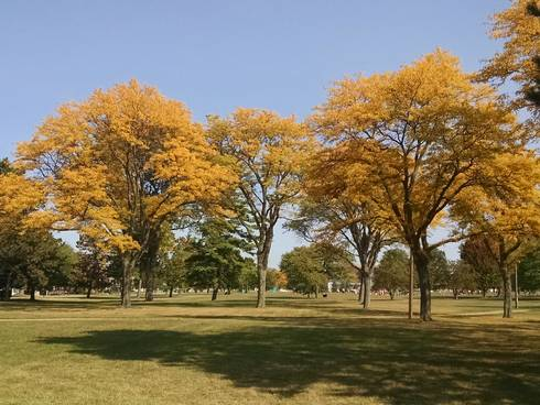 Photo 1. Early fall color on honeylocust trees on MSU campus. All photos by Bert Cregg, MSU.