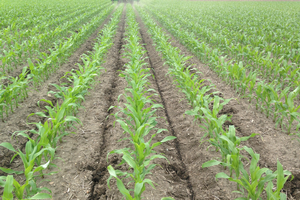 High yield corn research bolstered by early season weather