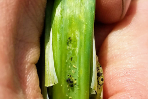 Thrips on onion plant