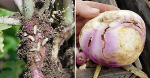The quest for Lorsban alternatives for cabbage maggot control in brassica root crops: 2019 trials