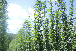Michigan hop scouting report for July 10, 2015