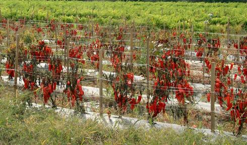 Phytophthora in a banana pepper field. All photos courtesy of Jen Foster and Mary Hausbeck.