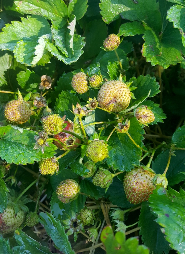 This picture shows some of the problems we are seeing in strawberries in 2017. Loss of flowers to frost, small seedy fruit and bronzing of the fruit skin, as well as misshapen fruit from tarnished plant bug feeding. All photos by Mark Longstroth, MSU.