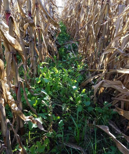 Cover crops growing between corn rows, example of interseeding into standing corn.