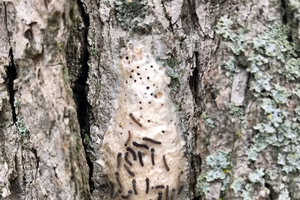 Growing populations of gypsy moth caterpillars raise concern for landscapes and woodlots